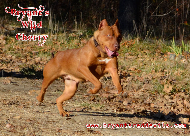 Bryant's Wild Cherry, Female Red Nose Pit Bull