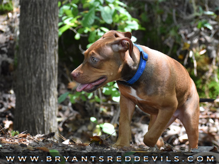 Bryant's Red Devils Red Nose Pit Bull Breeders in Georgia