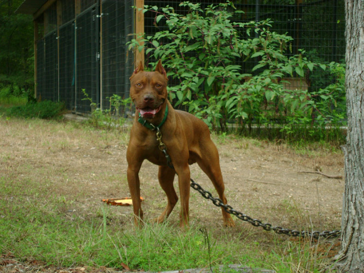 Red Red Nose American Pit Bull Terrier