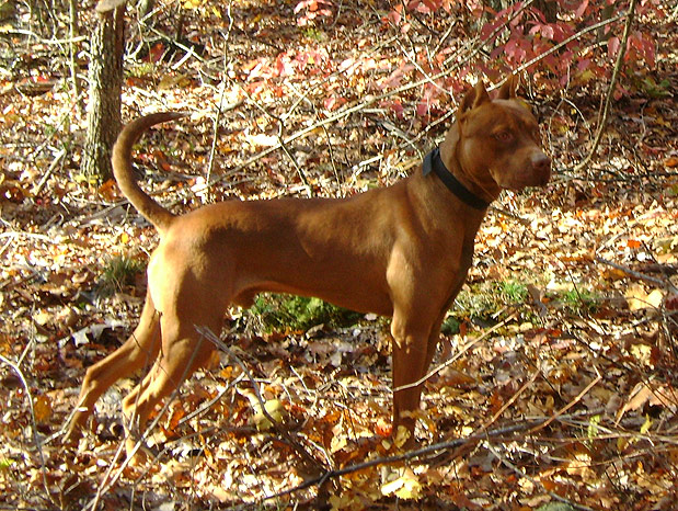 Southern Inferno's Mad Jack - Male Red Nose American Pit