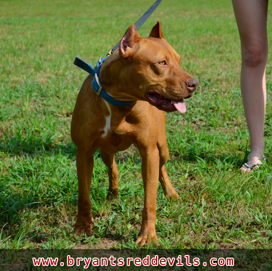 Pure Colby Pitbull Kennels