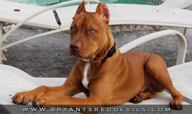 Bryant's Red Devils Red Nose Pit Bull Breeders in Georgia  Old